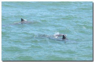 dolphins playing at fort desoto park.jpg
