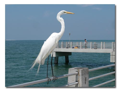 Egrets line the pier looking for a handout